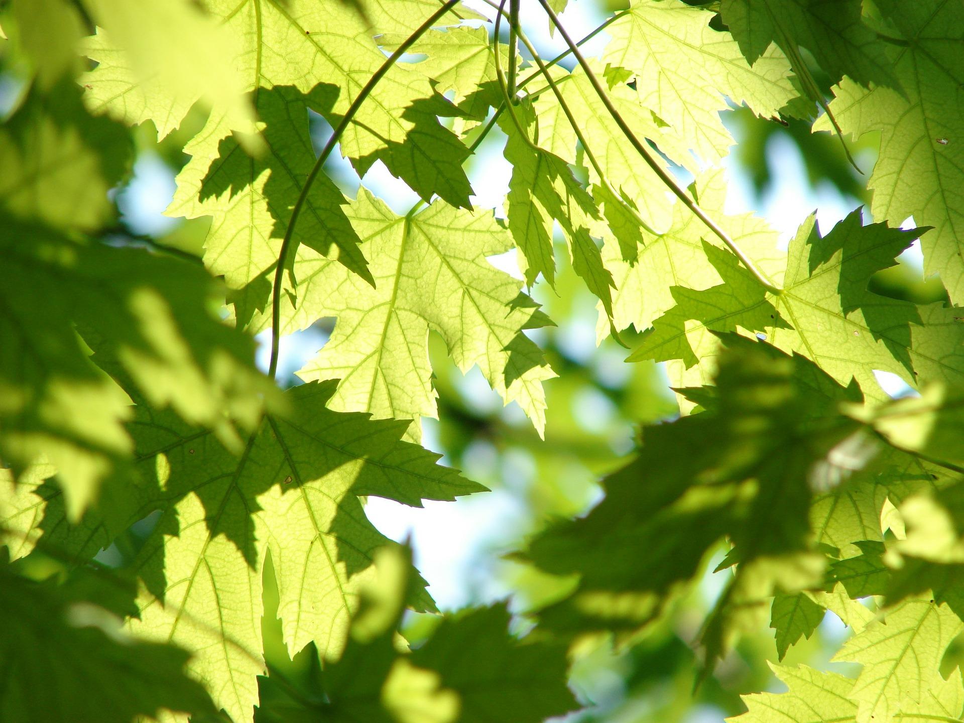 healthy leaves